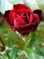 [花][自然]真紅のばらとしずく