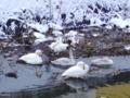 [冬][鳥]白鳥2