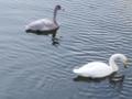 [冬][鳥]白鳥1