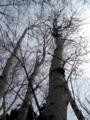 [春][樹]若葉を待つ白樺