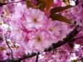 [春][桜][花]満開の八重桜