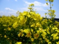 [春][花]菜の花1
