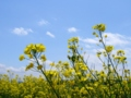 [春][花][空]菜の花2