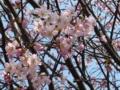 [春][花][樹][桜]ヤマザクラ