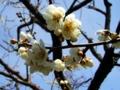 [春][花][樹]白梅