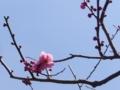 [春][花][樹]紅梅