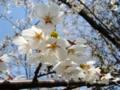[春][花][樹][桜]ソメイヨシノ