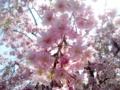 [春][花][樹][桜]ヤエベニシダレ