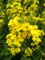 [春][花]菜の花