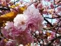 [春][花][樹][桜]八重桜