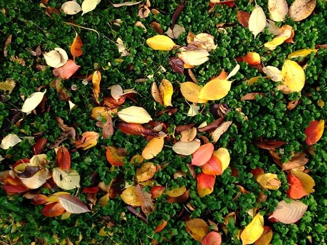 落ち葉とクローバー