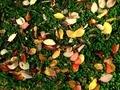[秋][自然]落ち葉とクローバー