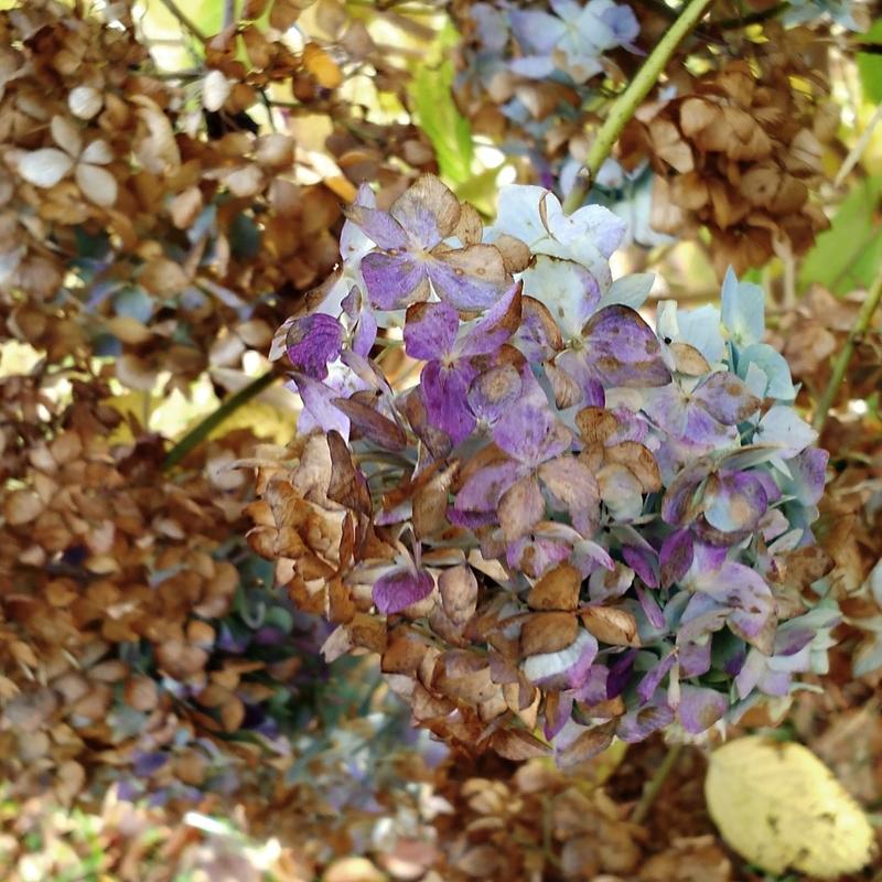枯紫陽花3