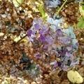 [花][秋][自然]枯紫陽花3