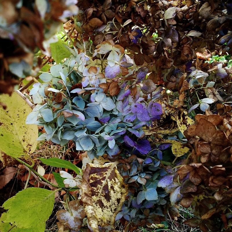枯紫陽花4