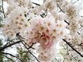 [桜][花][春][自然]桜