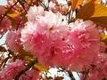 [桜][花][春][自然]八重桜