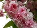 [花][桜][自然][春]桜2021 7