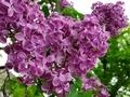 [花][自然]ライラック