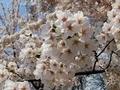 [花][桜][自然][春]桜2021 6