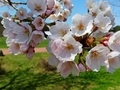 [花][桜][自然][春]桜2021 5