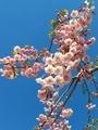 [花][桜][自然][春]桜2021 4