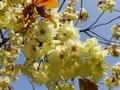 [花][桜][自然][春]桜2021 3