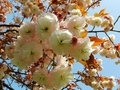 [花][桜][自然][春]桜2021 2