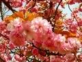 [花][桜][自然][春]桜2021 1