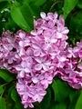 [花][自然][春]ライラック 3
