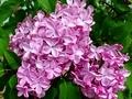 [花][自然][春]ライラック 2