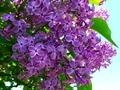 [花][自然][春]ライラック 1