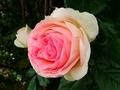 [花][自然]バラ