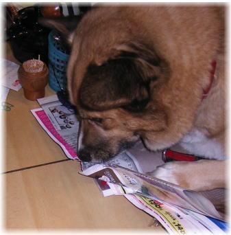 新聞に顔を近づけて読んでるフリで、実は、齧っているハルの写真