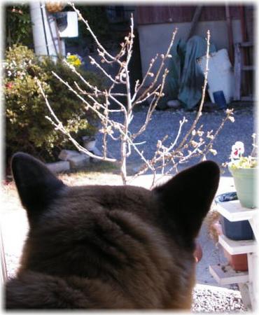 咲き始めたサクラを眺めるハルの写真