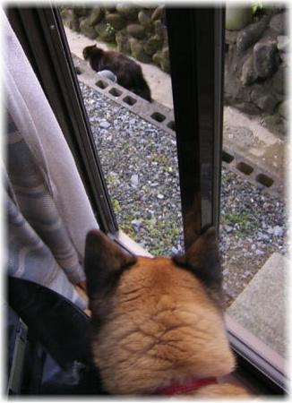 家のうらの溝を悠々と歩く猫を威嚇するハルの写真