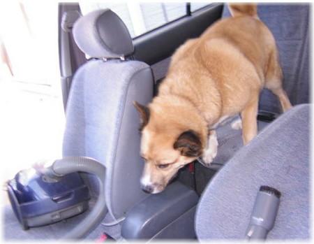 車に乗り込んだら掃除機があって、困ったハルの写真