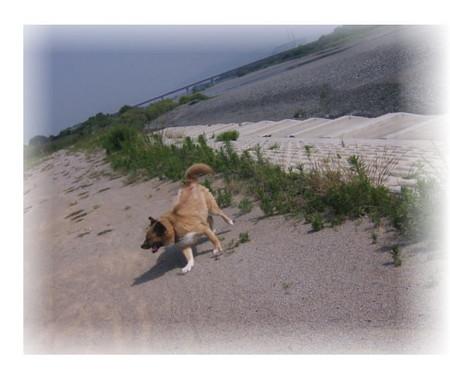 川原を走っているハルの写真