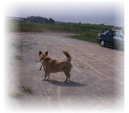 遊びながら、振り返って車を気にするハルの写真