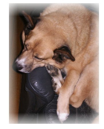 ソファーの上で両後足を顔の傍で揃えて寝ているハルの写真