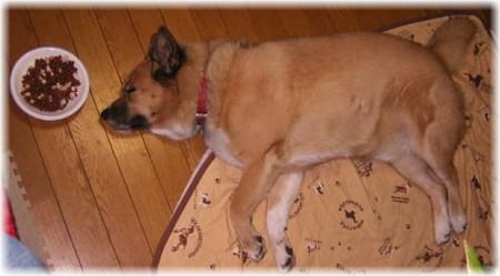 ご飯のお皿を顔の前にして、寝ているハルの写真