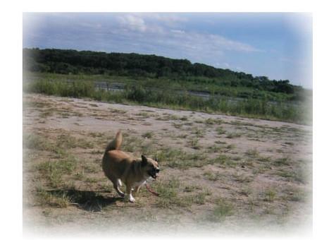 秋の河原を走るハルの写真