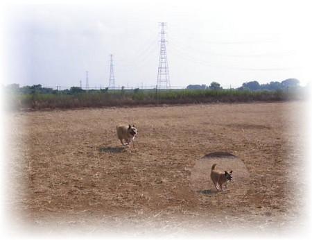 ひたすら河原のグランドを疾走するハルの写真