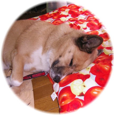 りんごの絵柄の長座布団を枕に寝ているハル、カメラのシャッター音で半目開きの写真