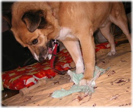 雑巾をビリビリに裂いて満足げなハルの写真