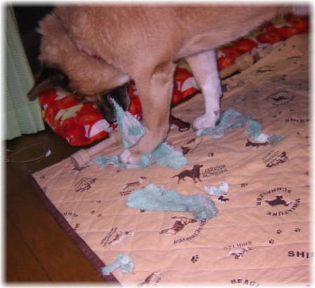 持ち出した雑巾を手で抑えながら、ビリビリに噛み裂いているハルの写真