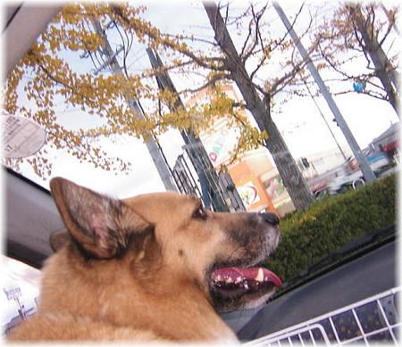 車の中から散り始めた銀杏並木を見ているハルの写真