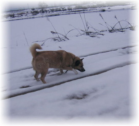 真っ白な河原の原っぱで走り回るハルの写真