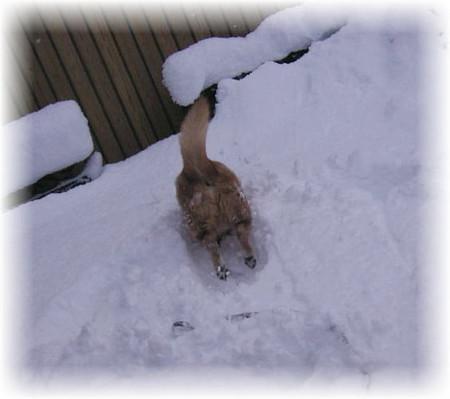 それでも雪の中へ行きたくて、なんと頭からダイブのハルの写真