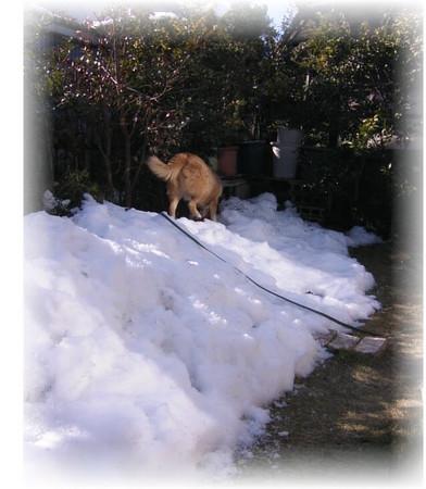 飽きることなく雪の上を歩いて遊んでいるハルの後ろ姿の写真